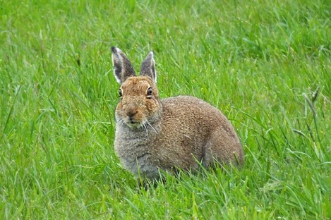 File photo of a hare.