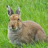 Suspension of hare coursing licences lifted in areas not affected by deadly virus