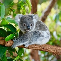 Hundreds of koalas feared dead in out-of-control bushfire on Australia's east coast