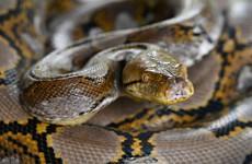 Woman found dead in US with python around her neck