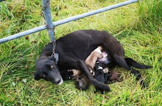 ISPCA rescues six nursing puppies after mother is found chained to gate in Co Roscommon