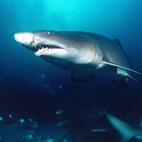 Hand of missing Scottish tourist found in tiger shark's stomach