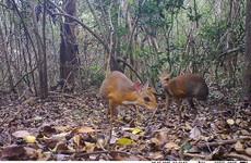 Miniature fanged 'deer' not seen for 30 years rediscovered tiptoeing through Vietnam