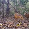 Miniature fanged 'deer' not seen for 30 years rediscovered tiptoeing through Vietnam