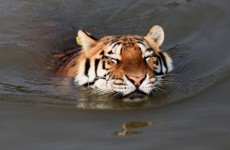In photos: big cats enjoying a bath