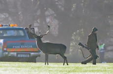 Fallow deer killed in Phoenix Park in latest cull to control population growth