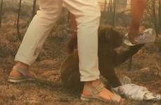 Lewis the koala dies from burn injuries after being rescued from Australian bushfire last week