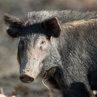 Pack of feral hogs attack and kill woman outside Texas home