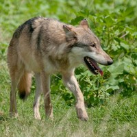 Zoo worker fatally mauled by wolves in Sweden