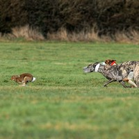 'Heinous barbarism': Public urges Heritage Minister to introduce hare coursing ban