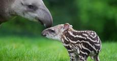 PHOTOS: the latest addition to Dublin Zoo...a newborn Tapir calf