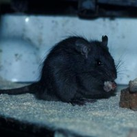 The Lambay black rat is now the only 'threatened' terrestrial mammal species in Ireland