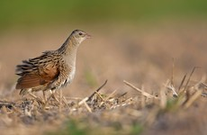 Ireland wins €4.3 million in EU funding for corncrake conservation project