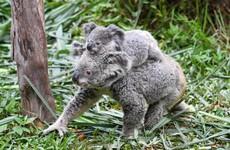 Thousands of koalas 'key to future of species' feared dead after bushfires sweep Australian sanctuary