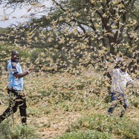 The most serious locust outbreak in 25 years is spreading across East Africa, threatening food supplies