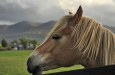 Gardaí investigating after horse stabbed to death in 'horrendous' attack