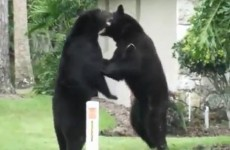 WATCH: Bears fight on Florida lawn