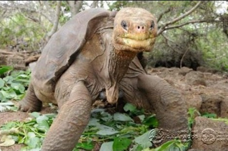 Lonesome George at his corral in the centre on Santa Cruz Island.