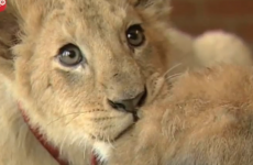 VIDEO: Lion cub plays with dog and rabbit