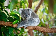 Dozens of koalas die and 80 treated for injuries and starvation after Australian habitat logged