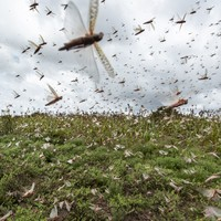 National emergency declared in Somalia over locust infestation