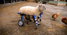 Freckles - the 'luckiest sheep in north Dublin' - uses a custom wheelchair to get around the farm