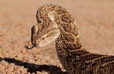 Scramble for antivenom as man in Dublin bitten by venomous snake