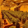 Man (20s) arrested after gardaí seize €122k worth of cannabis from growhouse