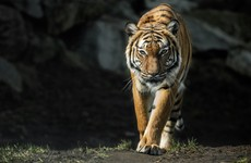 Four-year-old tiger at Bronx zoo tests positive for Covid-19