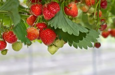 Taoiseach asks for review of travel restrictions after Keelings fruit pickers controversy