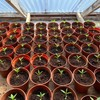 Over 250 suspected cannabis plants seized from grow house in Kerry