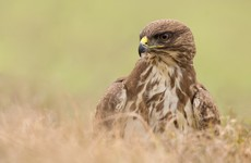 Conservationists slam 'horrific and illegal' mass poisoning of buzzards in Co Cork