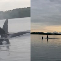Killer whales spotted swimming alongside boat in Co Down