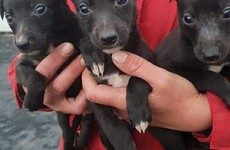 Garda investigation launched after dogs worth €5k found in the back of a van