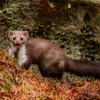 Pine martens could be solution to saving red squirrels in urban areas