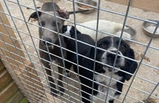 22 dogs seized by gardaí during searches at three addresses in Co Cork