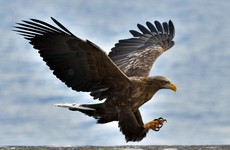 Ten white-tailed eagles flown in from Norway to help bolster Irish population