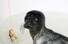 'Wetsuit mums' bring comfort to dozens of orphaned seal pups in Co Wexford