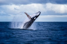 Your evening longread: The fascinating - and mysterious - life of humpback whales