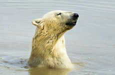 Global warming could see most polar bears disappear from Arctic by 2100