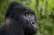 Man who killed Uganda gorilla Rafiki jailed for 11 years