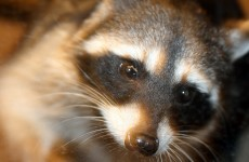 Woman chased and attacked by raccoons