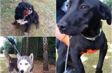Stolen to breed: Criminals stealing thoroughbred dogs 'to make quick cash' by breeding them