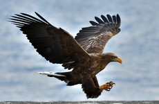 White-tailed sea eagles released into the wild in Munster