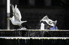 A spike in seagulls? Locals in Dublin have concerns but experts say lockdown isn't to blame