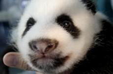 Baby panda dies of pneumonia at Tokyo zoo