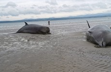 Six bottlenose whales die after mass stranding on Donegal beach