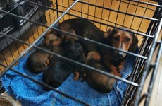 Gardaí seize 32 stolen dogs following searches in Swords