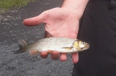 'A real and pending concern': Probe into re-appearance of invasive fish species in Shannon tributary