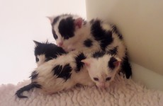 Newborn kittens abandoned in plastic bag taken into ISPCA care